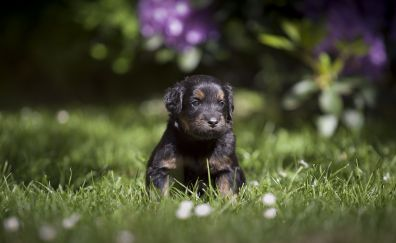 Cute, adorable black puppy, dog, animal, pet, grass, 4k