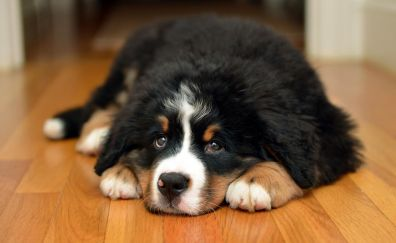 Puppy, relaxed, Bernese mountain dog