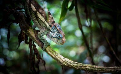 Chameleon, lizard, reptile, bokeh
