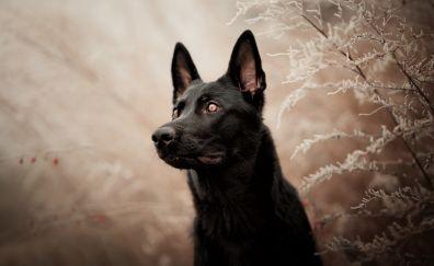 German shepherd, dog, muzzle, black
