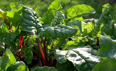 Vegetable, leaves