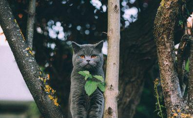 British Shorthair, cat, black, leaves