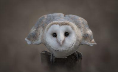 White predator, owl, stare, bird