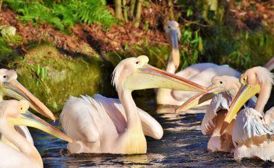 Pelican, birds, swim, 5k