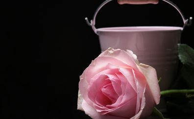 Pink, rose, petals, bucket