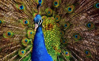 Dance, bird, colorful bird, peacock