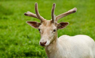 Fallow deer, deer, horns, animal