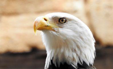 Bald eagle, white head, muzzle, predator, 4k
