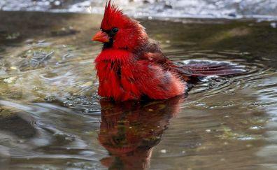 Cardinal, red bird, water