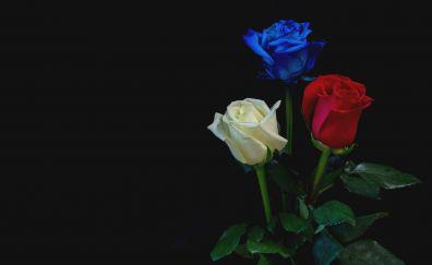 Blue, red, white roses, flowers