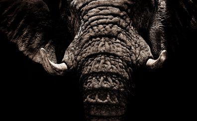 Elephant, muzzle, tusks, trunk, dark, 4k