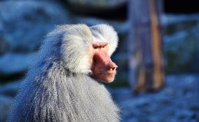 Baboons, monkey, furry, animal, 4k