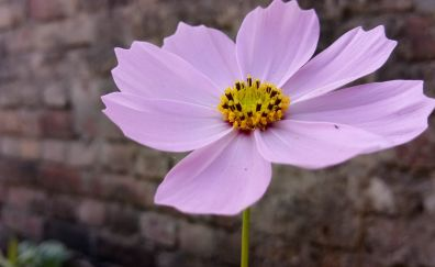 Pink cosmos, close up, flower, 4k