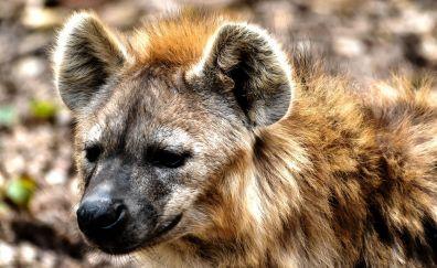 Hyena, wild animal, wildlife