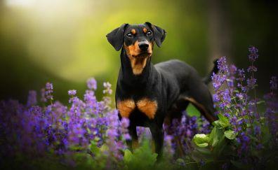 Cute dog, Doberman Pinscher, outdoor