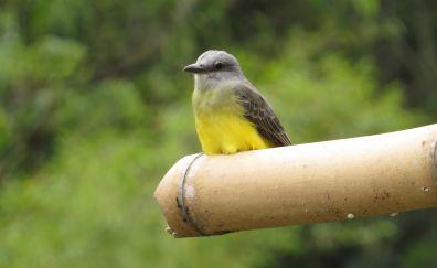 Yellow aves, bird, 4k