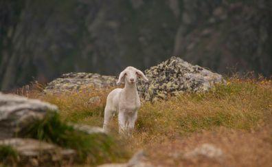 Lamb, wild animal, cute sheep, landscape