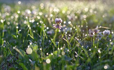 Primrose plants, flower, bokeh, grass