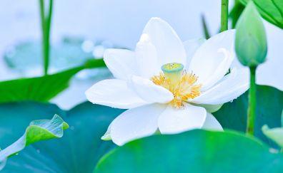 White lotus, blossom, bud, leaves, flower