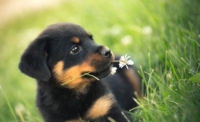 Rottweiler, dog, cute, puppy, grass