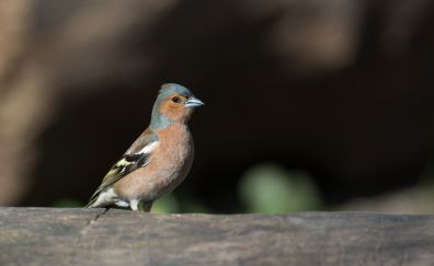 Common Chaffinch bird, cute and small