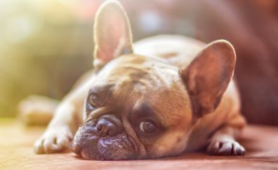 French bull, dog, relaxed, muzzle, 5k
