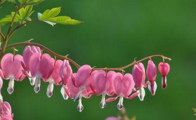 Bleeding heart, pink flowers, bloom, pink