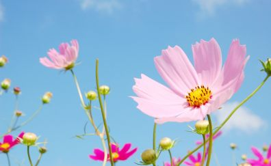 Meadow, flowers, blossom, pink cosmos