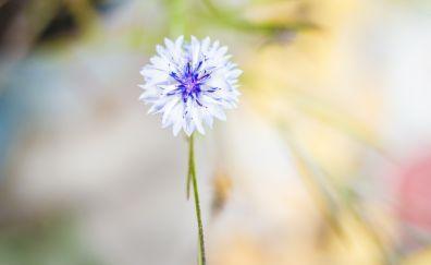 Cornflower, white, single, lone