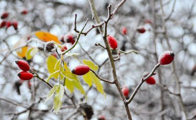 Snow frost on small red fruits