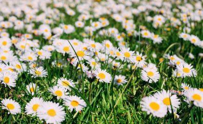 Meadow, summer, daisy, flowers, white flowers