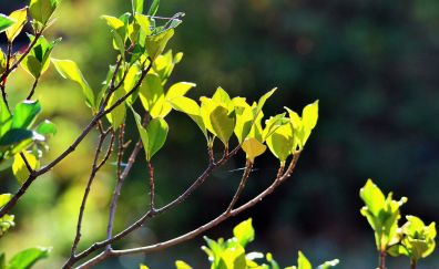 Green leaves, tree branch