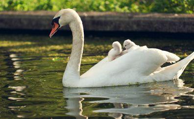 White swan, family, lake, swim, 4k