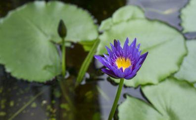 Purple water lily, flowers, leaves, bud, 5k