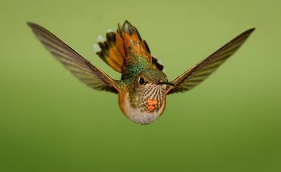 Flight, close up, hummingbird