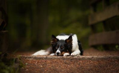 Dog, Australian Shepherd, sitting