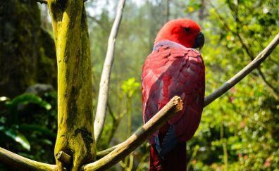 Red parrot, bird, tree branch