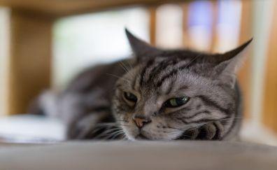 Cat, nap, afternoon, pet