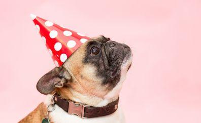 Cute, dog, party cap, pug