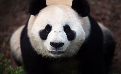 Cute, panda, curious, stare, 4k