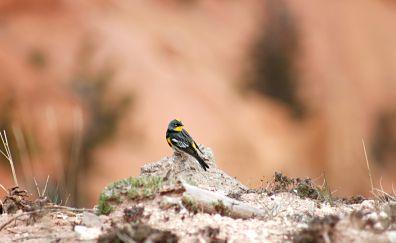 Yellow-rumped warbler, bird, blur