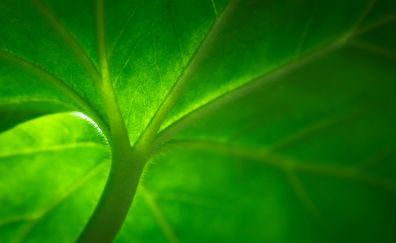 Green leaf, veins, macro