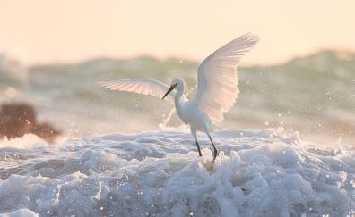 Egret, white bird, flight, wings, foam, 4k