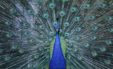 Peacock dance, colorful feathers, bird