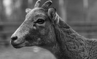 Wild Deer young