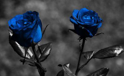 Blue rose, monochrome