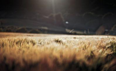 Wheat farm field, threads, landscape