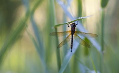 Insect Dragonfly, close up, blur