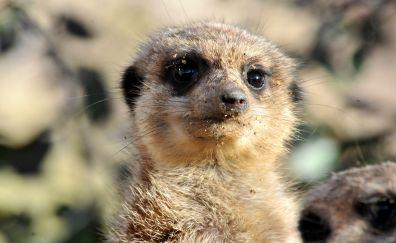 Meerkat muzzle, stare