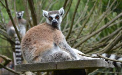 Lemur, monkey, animal, wild animal